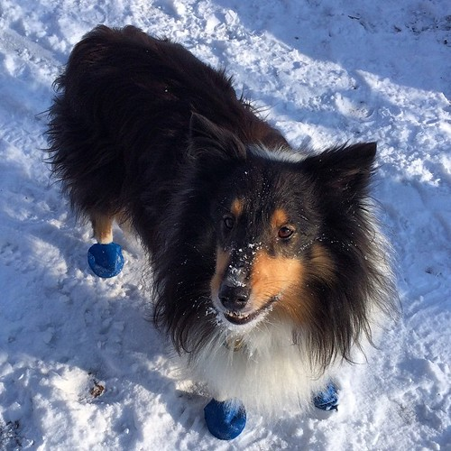 Winter is here and someone is very happy about that. 😊 #winter #dogpark #Sheltie