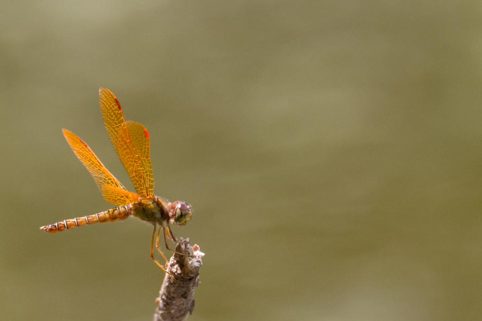 Las libélulas (Anisópteras) se alimentan de mosquitos y otros insectos pequeños como moscas y polillas. No pican a los seres humanos y son valiosas para controlar las poblaciones de insectos transmisores de enfermedades.  (Tetsu Espósito).