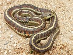 Thamnophis elegans
