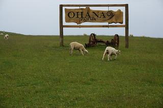 Sheep on the Coromandel Peninsula