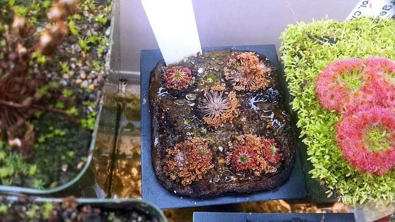 Drosera pygmaea with gemmae, hopefully.