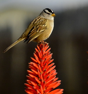 Tree-topper? - White-crowned Sparrow on Aloe arborescens
