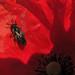 Small photo of Hymenoptera