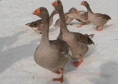 Чем кормят гусей в домашних условиях зимой