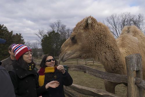 Aladdin the Camel at Mount Vernon, December 2014