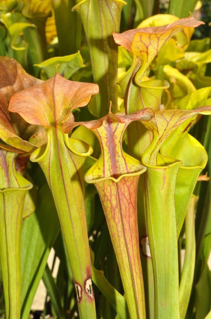 Sarracenia flava var. cuprea-atropurpurea, Phil Reyter plant