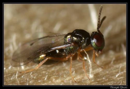 Pteromalidae (Coruna clavata ?)