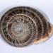Small photo of Milk Snail Otala lactea