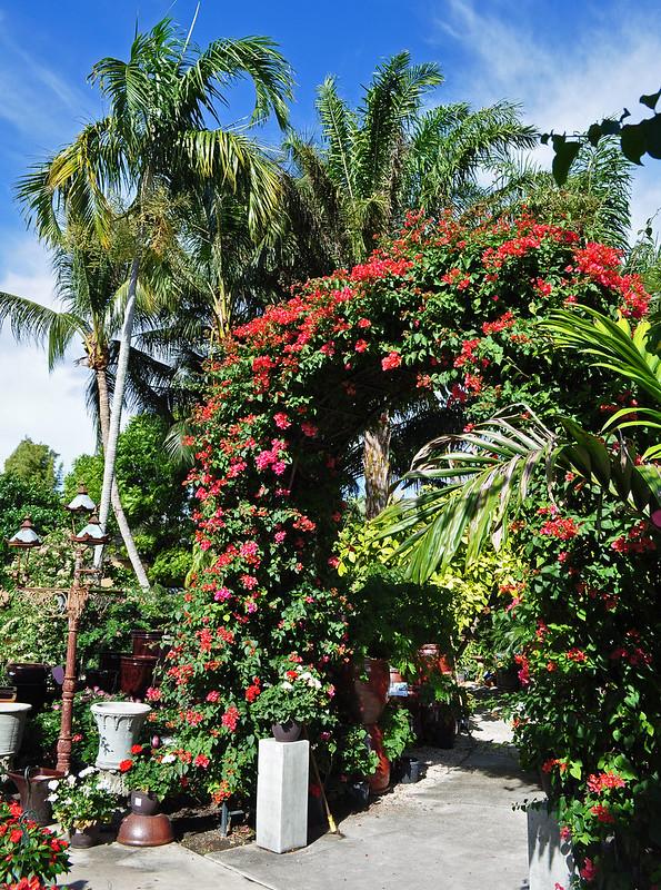 Bougainvillea Arches (3)