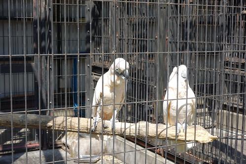 """parrot_2 """"大宮公園小動物園"""" で撮影したオウムの写真。 檻の中の止り木の上で左側から雄のオウムが右に居る雌のオウムに近付いて行こうとしている場面。"""