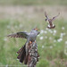 12th June 2016 Cuckoo & Whinchat by Fudgey2010