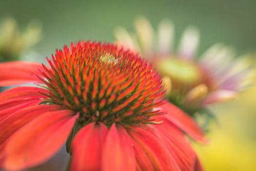 summer flower macro philadelphia nature beauty us flora nikon unitedstates pennsylvania coneflower dreamy d7200