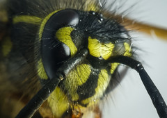 HolderWasps head