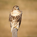Red-tailed Hawk - Juvenile by Turk Images