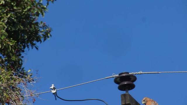 MVI_6876 crow dive at hawk goleta
