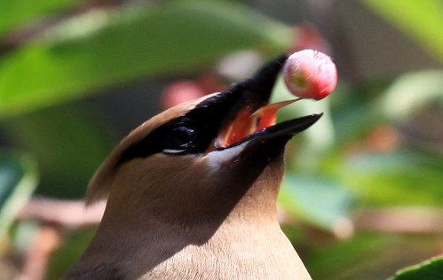 Cedar Waxwing tongue