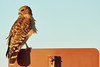 Sign Hunting: Red-shouldered Hawk_DSC6730