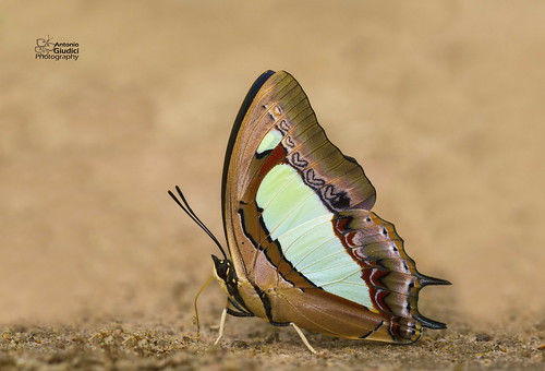 The Common Nawab - ผีเสื้อม้าเขียวธรรมดา