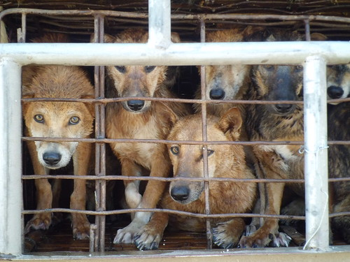 Dogs on truck to Vietnam (7)