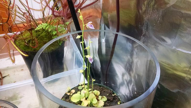 Utricularia calycifida flowers.