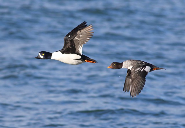 Barrow's Goldeneye pair in flight