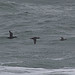 pomarinejaeger has added a photo to the pool:Surf Scoters (with Green-winged Teal), Canaveral National Seashore, Brevard Co., FL; crap pic solely for eBird documentationebird.org/ebird/view/checklist?subID=S20631684