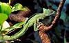 Lizard III (Plumed basilisk)