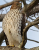 imm. coopers hawk