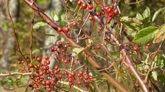 shrub(0.0), flower(0.0), plant(0.0), thorns, spines, and prickles(0.0), produce(0.0), food(0.0), rowan(0.0), rose hip(0.0), evergreen(1.0), berry(1.0), branch(1.0), leaf(1.0), tree(1.0), flora(1.0), fruit(1.0), aquifoliaceae(1.0), aquifoliales(1.0), hawthorn(1.0),