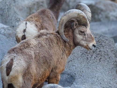 金沢動物園 オオツノヒツジ