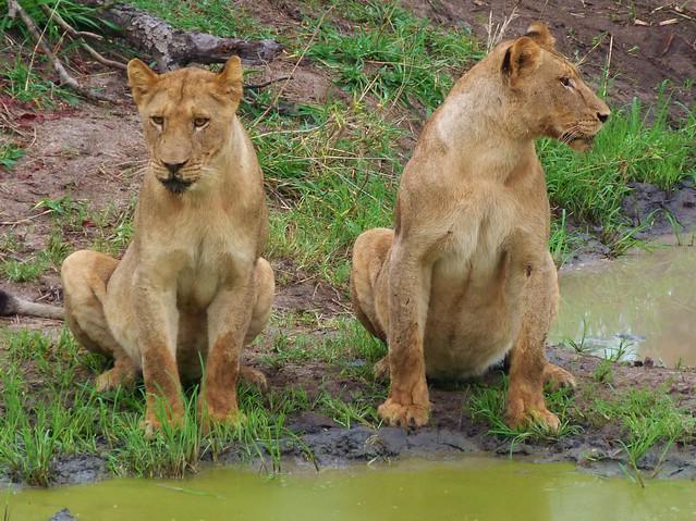 Leonas en el Parque Kruger de Sudáfrica