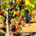 Napa Valley Grapes! by DuggieH
