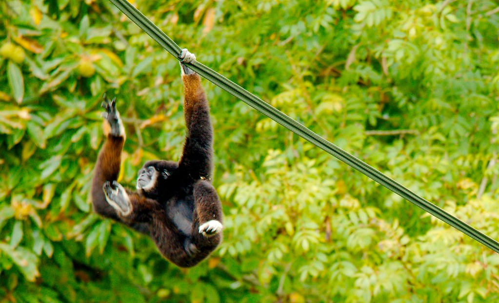 White-handed Gibbon (Hylobates lar)_5