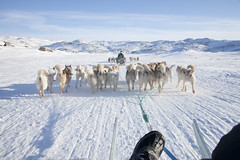 dog, arctic, winter, vehicle, snow, mammal, ice, mushing, dog sled, sled dog racing,