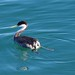 Small photo of Western Grebe (Aechmophorus occidentalis)