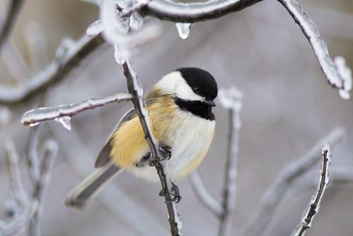 Icy Chickadee