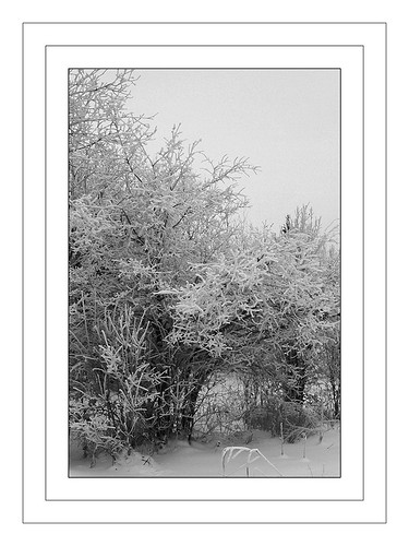 Frost Coated Trees - Winter Scene