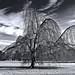 A Tree by dolorix