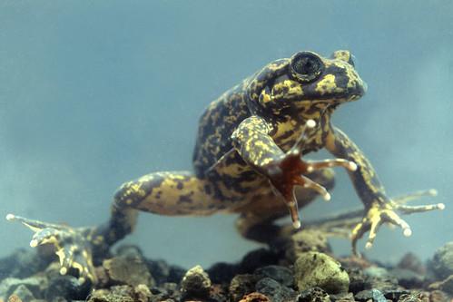 <i>Telmatobius niger</i> Uco negro ♀