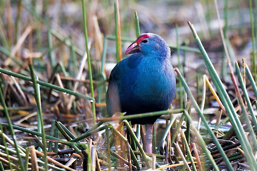 Florida: Purple Swamphen