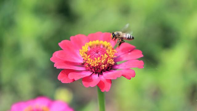 Honeybee's Landing to the Zinnia