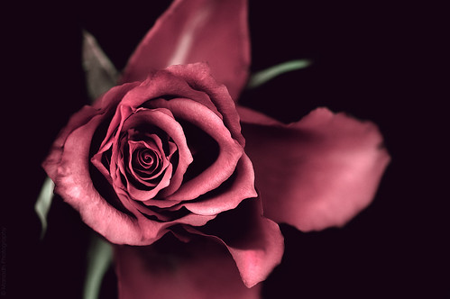 Just another rose // 09 12 14