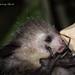 Aye-aye Nocturnal Lemur