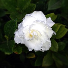 shrub, garden roses, camellia sasanqua, floribunda, flower, plant, flora, gardenia, petal,