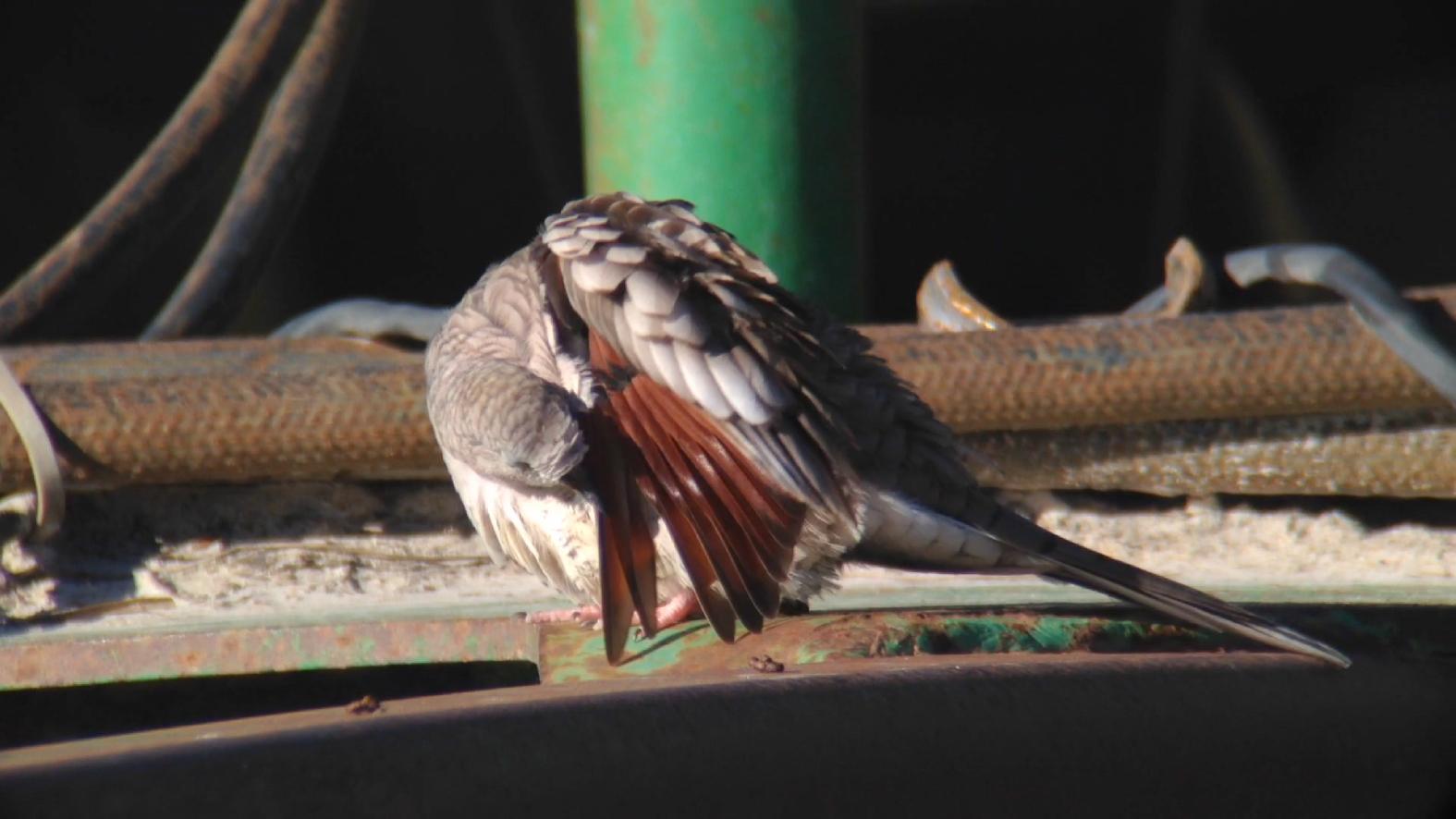 Inca Doves Privett Store Road Miller County GA 011015 5 324