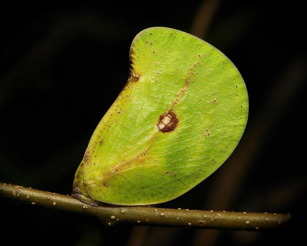 Flatid Planthopper (Flatidae, Hemiptera)
