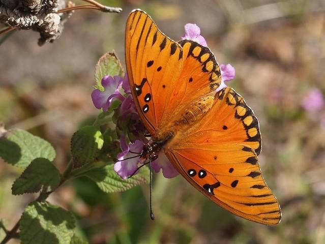 Gulf Fritillary Butterfly In My Garden 2015 - 08