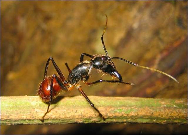 The Malaysian Exploding Ant go on suicide missions