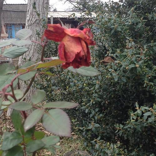 Хмурым декабрьским утром можно наблюдать отцветающие розы... #старыйкрым
