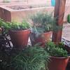 Jungle garden of herbs #mysimplething
